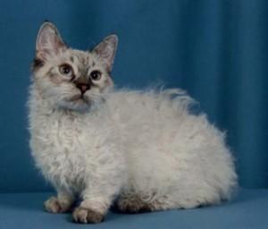 Кот породы ламбкин