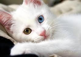 глаза ангоры
