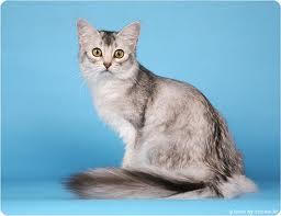 кошка сомалийская