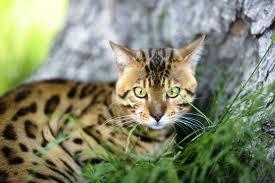 кошка-хищник