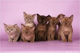Семейство бурманской кошки