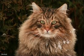 Профиль норвежской кошки