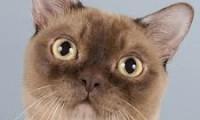 История появления бурманской кошки