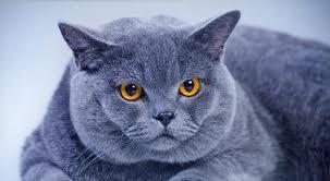 Кот породы Шартрез