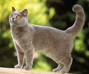 Кошка породы Шартрез