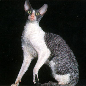 Немецкий рекс кошка