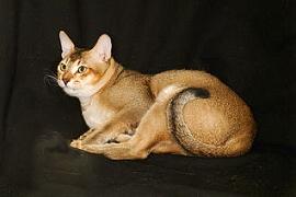 порода цейлонскийх кошек