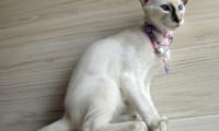 Уход за балинезом и советы при выборе котенка