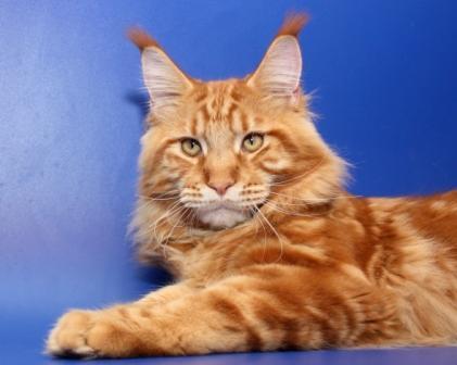 Кот мейн кун питомники
