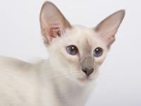 Кот балийский