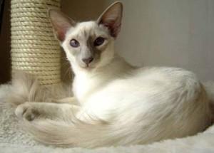 кошка балийская