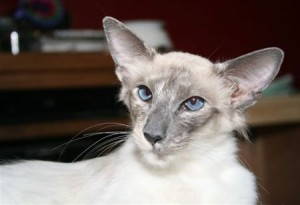 Порода Балийских кошек