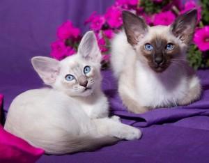 балийские котята