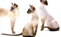 Описание сиамских кошек
