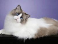 фото кота рэгдолл