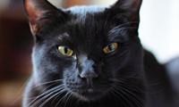 История происхождения Бомбейской кошки