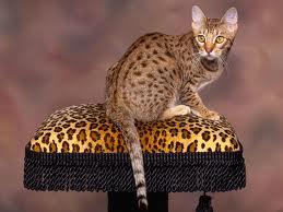 Кот оцикет