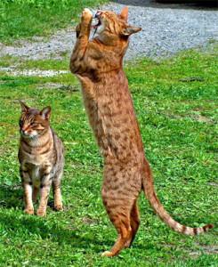 Оцикет кот
