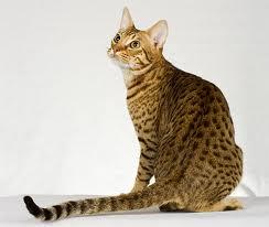 Оцикет кошка
