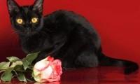 Стандарт породы Бомбейской кошки