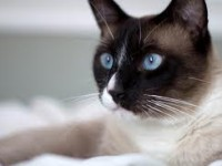 кошка сноу-ш