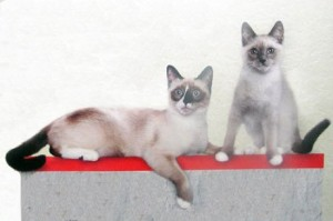 сноу-шу кошки