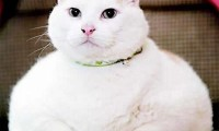 Ожирение у кошки:кто виноват?
