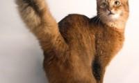 Кошкин хвост — индикатор настроения