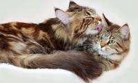 Как познакомить котенка со взрослой кошкой
