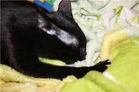 кошка сосет одеяло