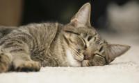 О сне кошек