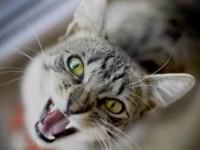 кошка разговаривает