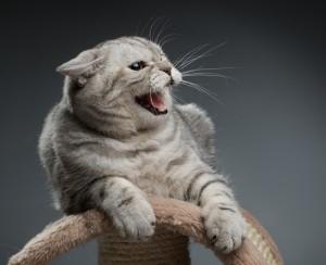 Кот нападает