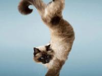 дрессированная кошка