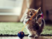 дрессированный котенок