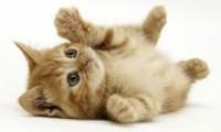 Воспитанный котенок:порода или окружающая обстановка