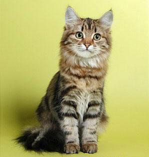 Сибирская порода кошек кошки в