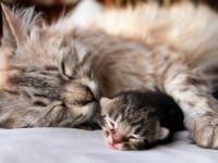 Как определить, что ваша кошка беременна