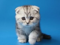 Почему стоит завести породистого котенка