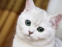 глухота у кошек