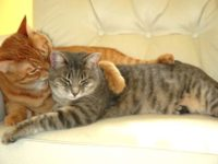 Все что важно знать о вязке котов и кошек их владельцам