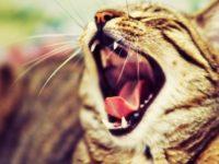 Здоровье кошки. Зубы